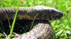 Село пропищя от змии