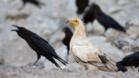 Птица разкри нелегален трафик на лешояди за вуду магии