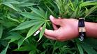 Що е то медицинска марихуана?