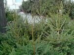 Благотворителна кампания за продажбата на живи елхи правят във В.Търново