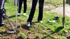 Засадиха 300 дръвчета в Кнежа
