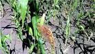 Продължилото засушаване съсипа реколтата от царевица